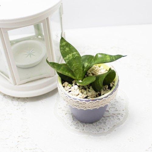 【兔子爱多肉】疗愈小盆栽,虎尾兰与彩绘素烧盆