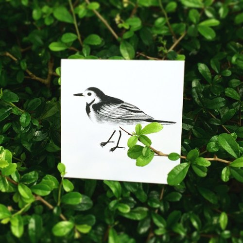 白鶺鴒 正方明信片 香港野鳥