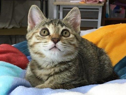 专属订单- 罗妙祯: 虎般猫咪盘子