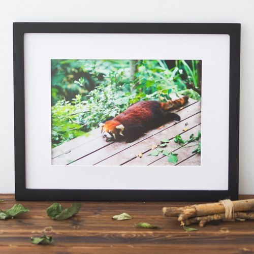 "Tour Tu | Travel photography decorative painting ""Red Panda"" original animal training base in Chengdu Giant Panda Home"