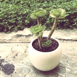 (Potted) Round old trees The Old Time (succulent plant treatment office small objects)