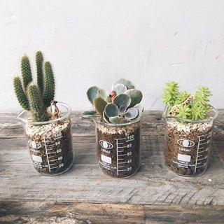 Mini zoo small cup of multi-small cactus planting single sale