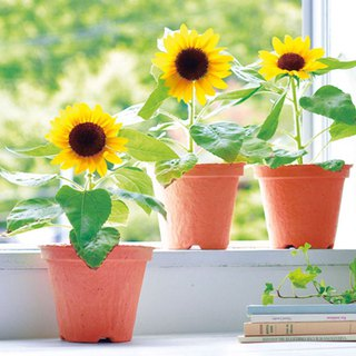 [Environmentally friendly design] ECOT decomposable material cultivation pot / sunflower