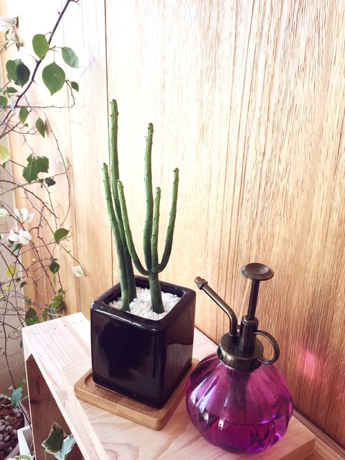 [Potted] Green Coral (succulent plant small potted office small objects) New Year gift