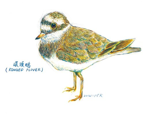 Small hand-painted postcard Kentish Plover