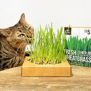 [Cat lettuce] fresh cat grass cultivation box sale group - three boxes as long as 399