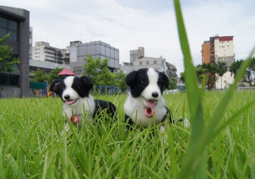 [Sheep wool felt music and more X] Pets engraved black and white Border Collie paragraph Pets avatar interrogation zone ~ Do subscript