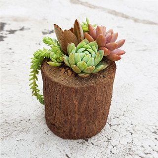 天然仿舊木頭罐 多肉組盆【小】 Natural vintage wooden cans 【S】 +  4 Succulents