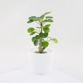 / Hydroponic potted plants / Round leaf Fu Lutong