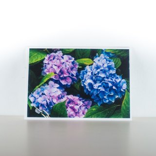 Photographic Postcard: Hortensia, Norge