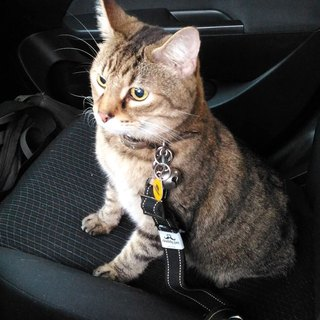 Seat Belt for Pet - For Cat