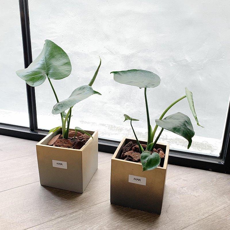 /克林姆系列-禮物盒/ 噴金漸層水泥盆栽 可加購龜背芋