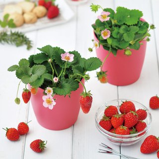 St. new pot bloom pink Japanese strawberry planting group