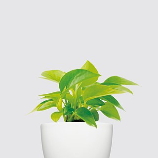 / Hydroponic potted plants / Lyme Golden Ge