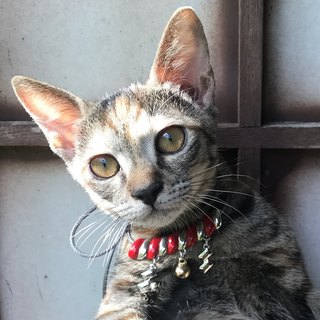 [Lost and find] Japanese Shrine Feng Yu Shen Cat Pet Necklace