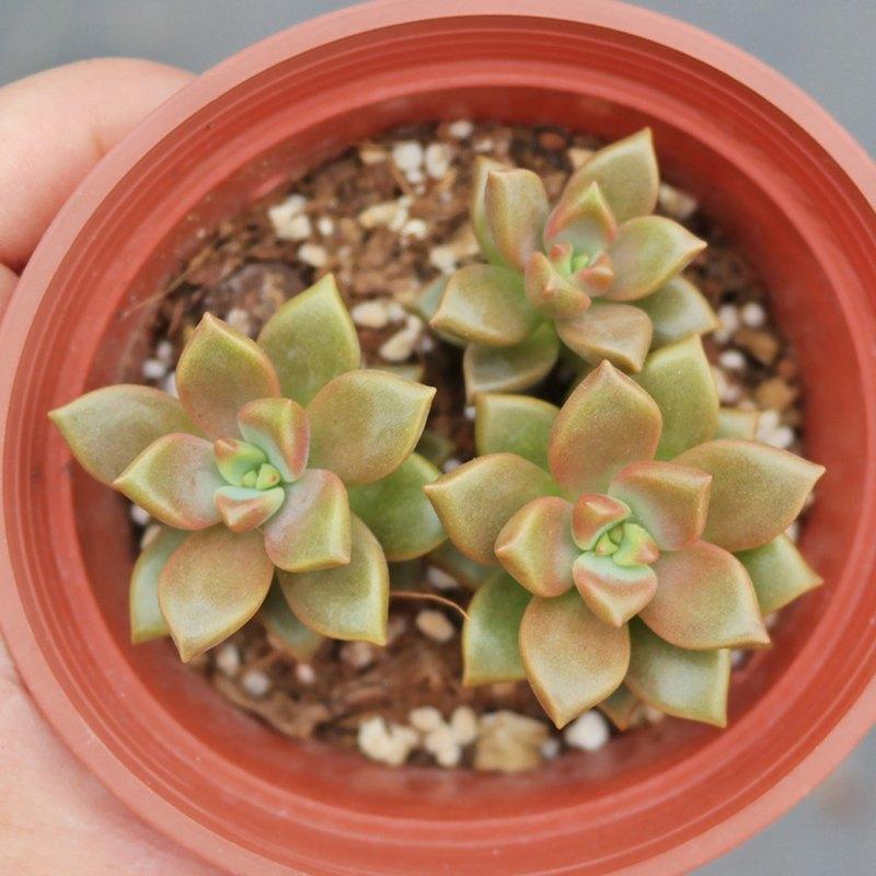 荳荳多肉植物與小雜貨-植物-姬朧月