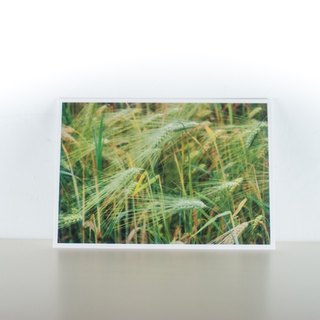 Photographic Postcard: Ear of wheat, Norge