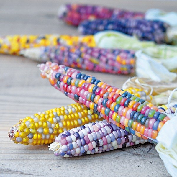 [Slight box damage and clear out] RAINBOW CORN Ornamental Cultivation Set / Rainbow Corn