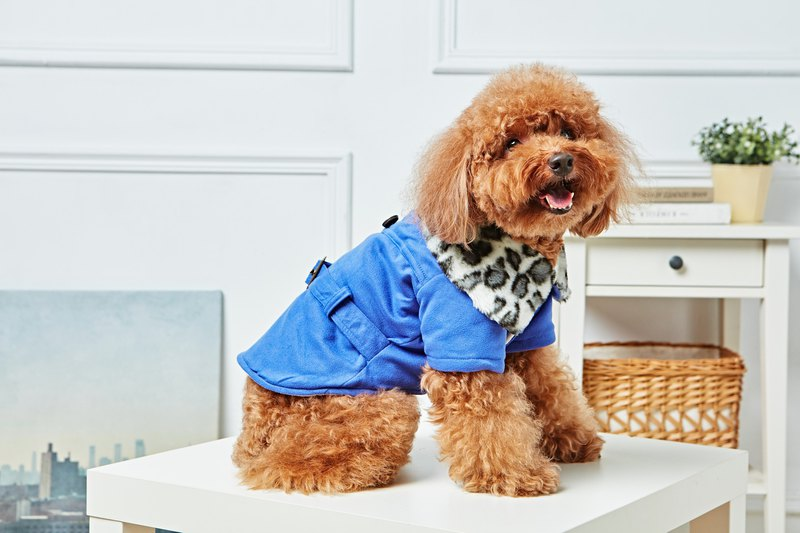 [Duke of Mao] pet clothes leopard fur collar coat blue