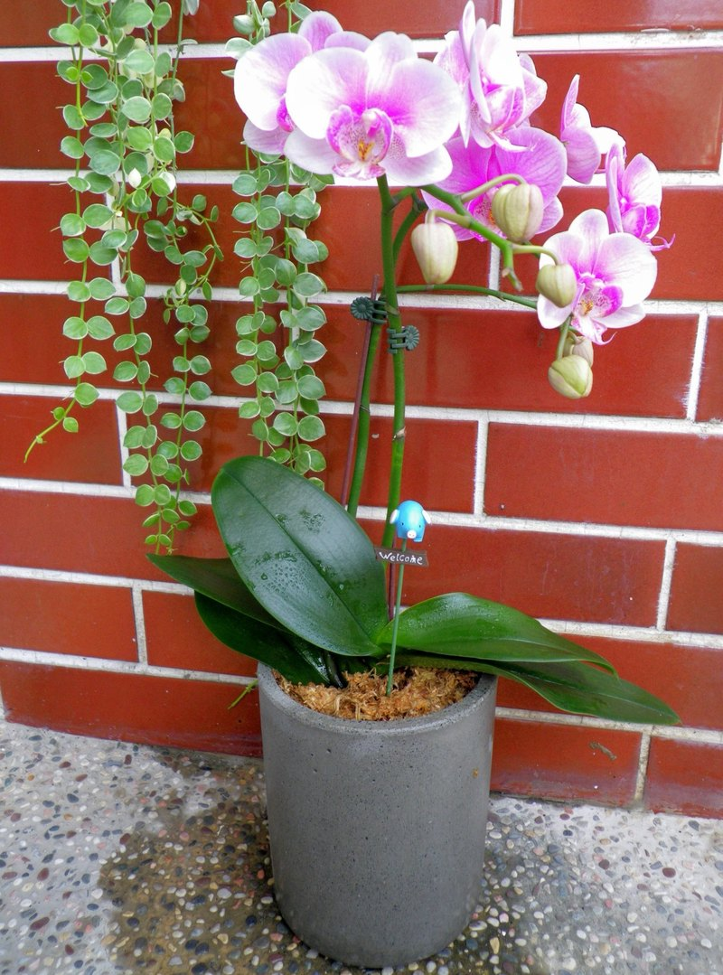 (Deep barrel barrel) cement flower / cement pot / cement planting (without plants)