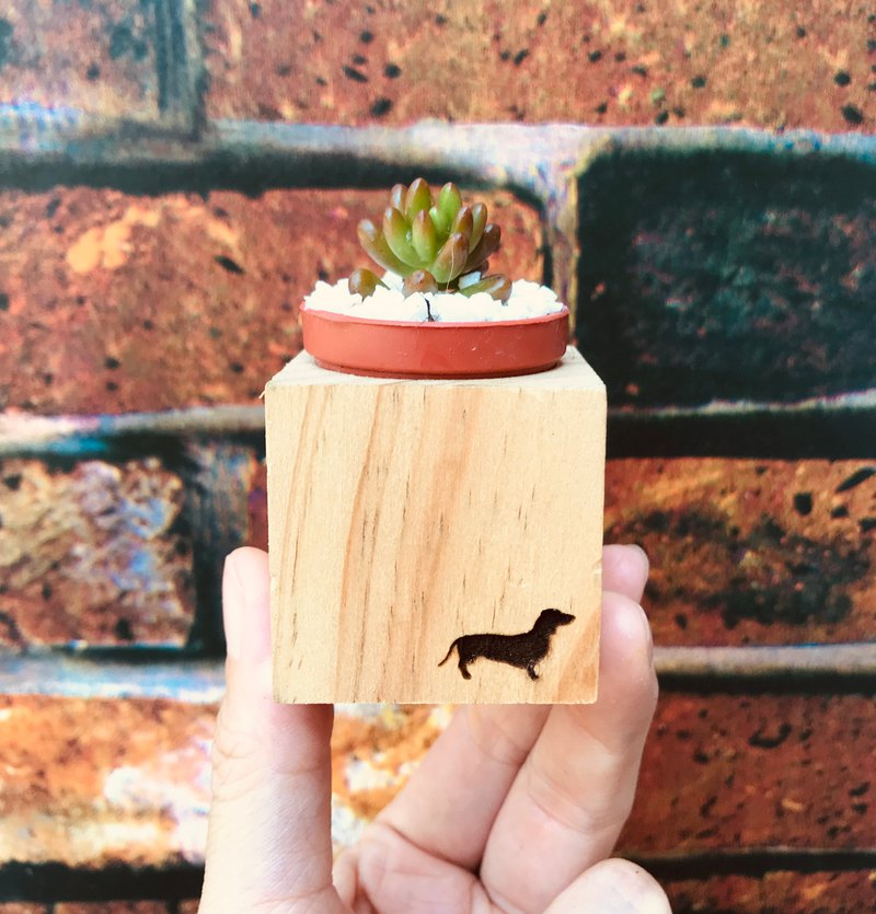 Dog pine magnet small pot to send succulents