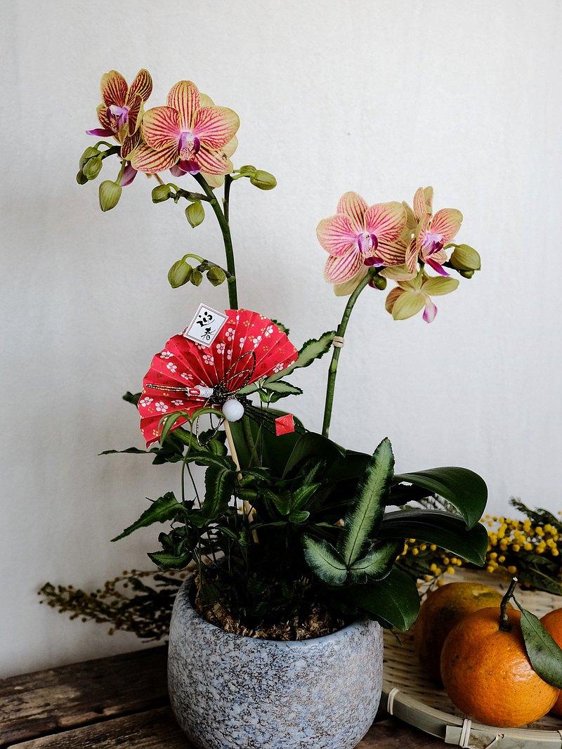 招財開運蝴蝶蘭 時時有財 盆栽植物 限雙北地區配送