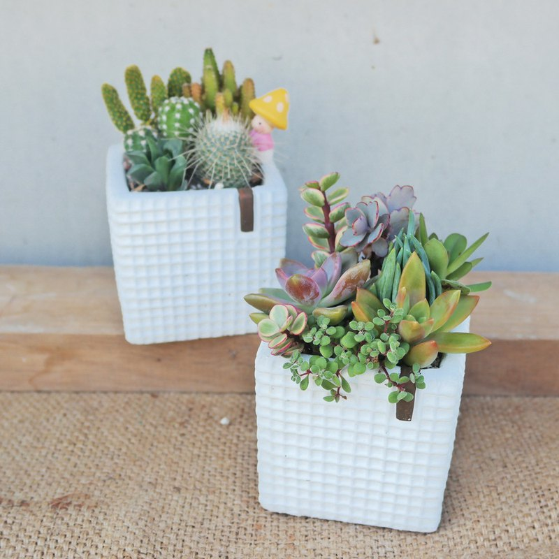 Peas succulents and small groceries - plain white plaid plant combination