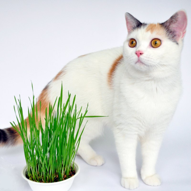 DIY cat grass planting group quick vegetable wheat grass planting group