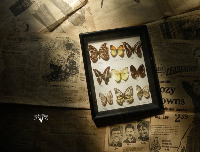 [Old Time OLD-TIME] Early Taiwanese Butterfly Specimen