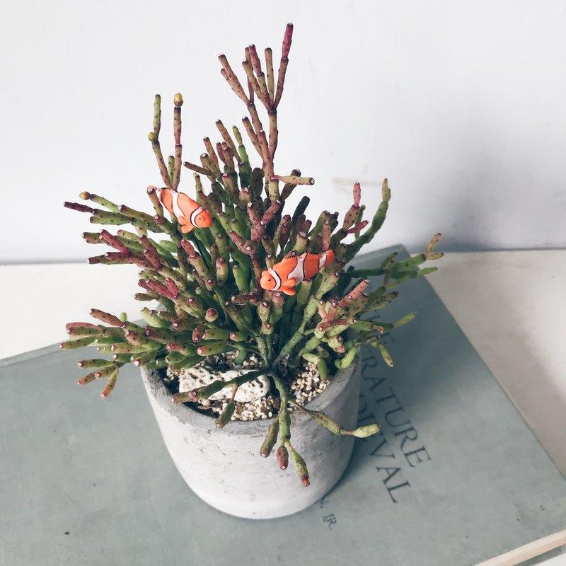 小丑魚 多肉 水泥盆植栽 特殊款多肉會開小花