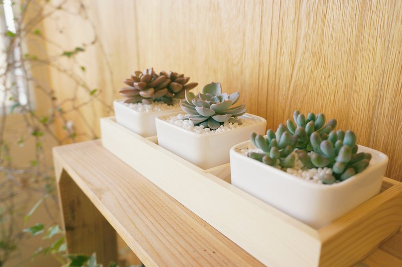 (Planting) Beautiful Scene Multi-small white porcelain square three-piece group (including plants and wooden boxes)