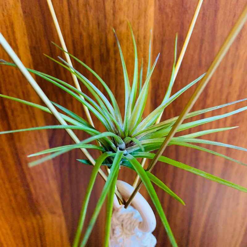 Air pineapple white flower amethyst Tillandsia tenuifolia 'Emerald Forest'