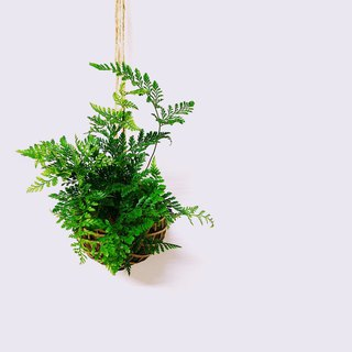 [Moss ball - rabbit foot fern] with base stone
