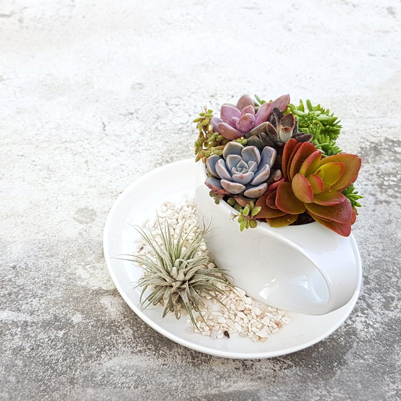 A cup of Cool & Healing succulents (With Tillandsia  ionantha or stricta)