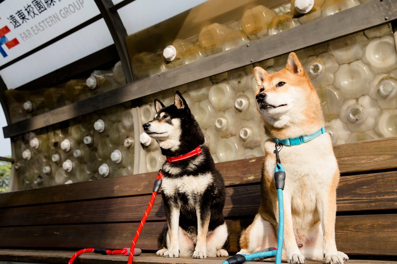 [Shiba Inu] Leash Group collar + leash medium dogs
