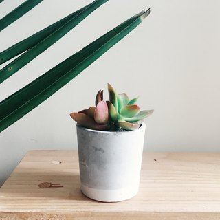 Succulent in concrete pot / concrete planter (Crassula capitella 'Campfire')