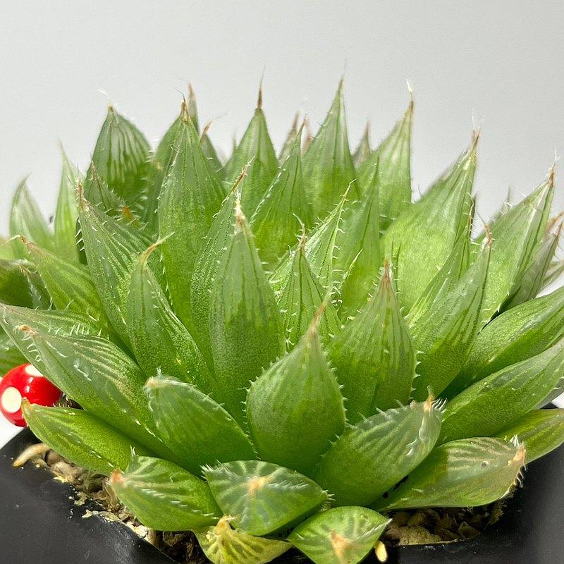 【多肉黑鑽瓷盆-青雲之舞】盆栽/植栽/生日/刻字(附字牌)