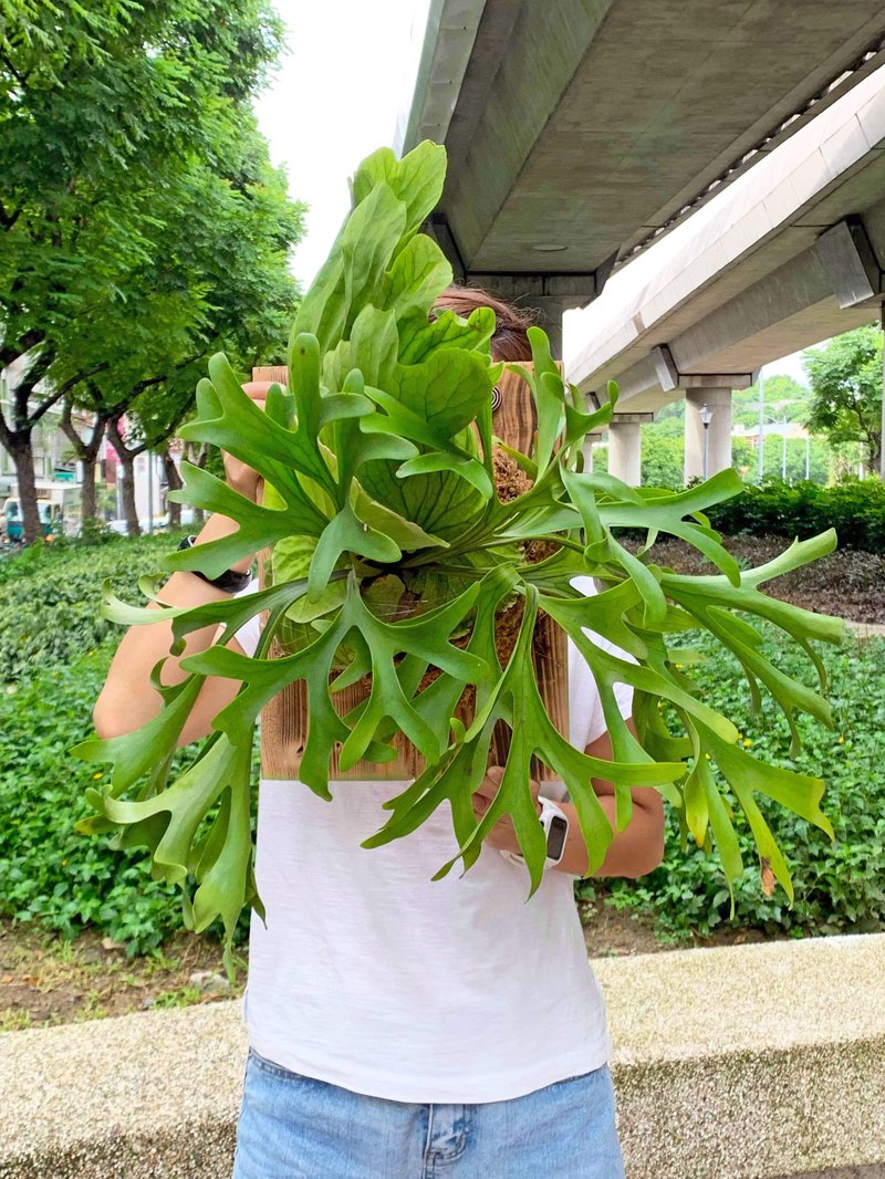 Very huge staghorn fern on plate