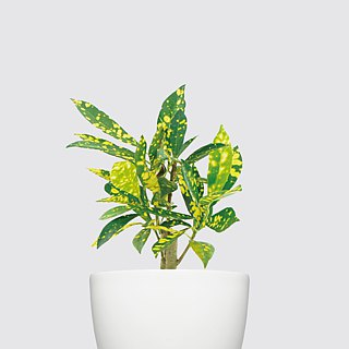 / Hydroponic potted / sprinkled gold leafy wood