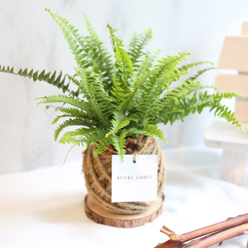 璎珞 Manor *PD1/ Kidney Fern Moss Ball / @anniv_2019_tw_living/Exchange Gift/Opening Ceremony